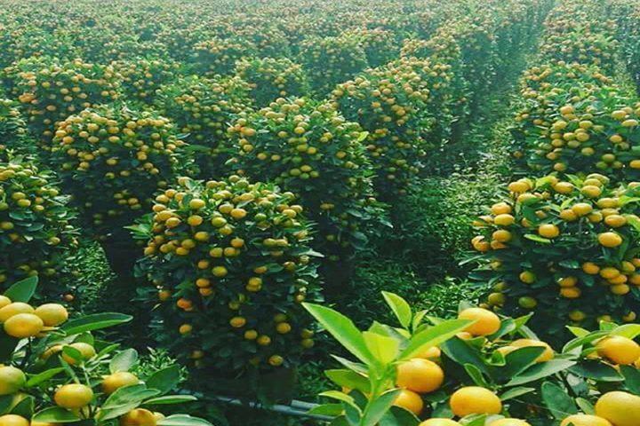 مدينة يمنية صحراوية تنتج 130 ألف طنا من البرتقال سنوياً