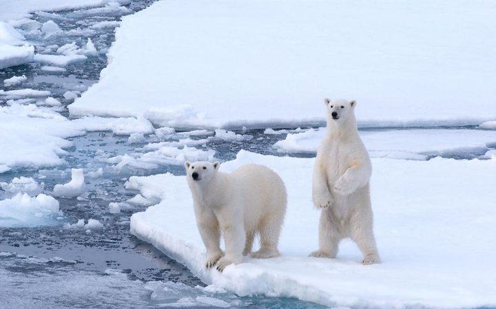 الدب القطبي الأبيض في خطر بسبب البشر
