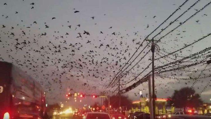 طيور سوداء تغطي سماء تكساس (فيديو)