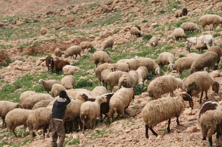 مستوطنون يسرقون عشرات الأغنام من عراق بورين