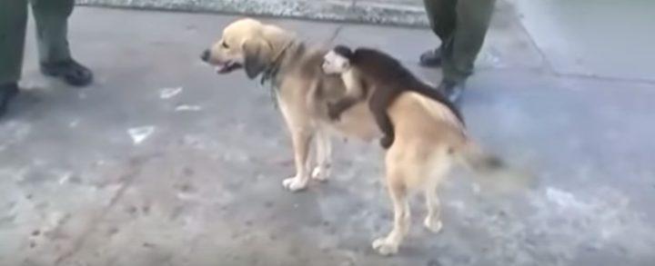 كلبة تتبنى قرد كبوشي بعد نفوق جرائها
