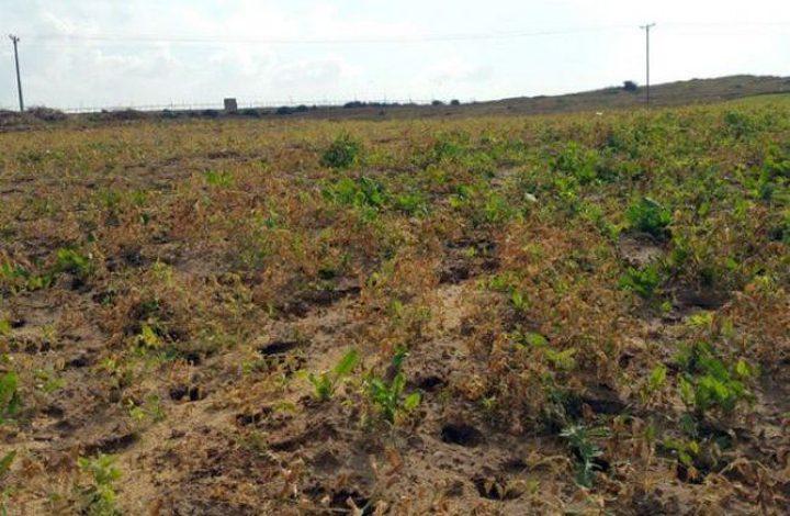 الاحتلال يرش مبيدات سامة على أراضي المزارعين شمال غزة