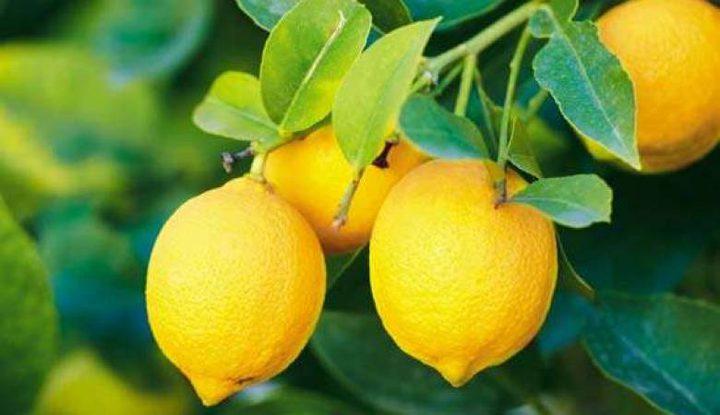 الليمون الفلسطيني.. في طريقه للخارج