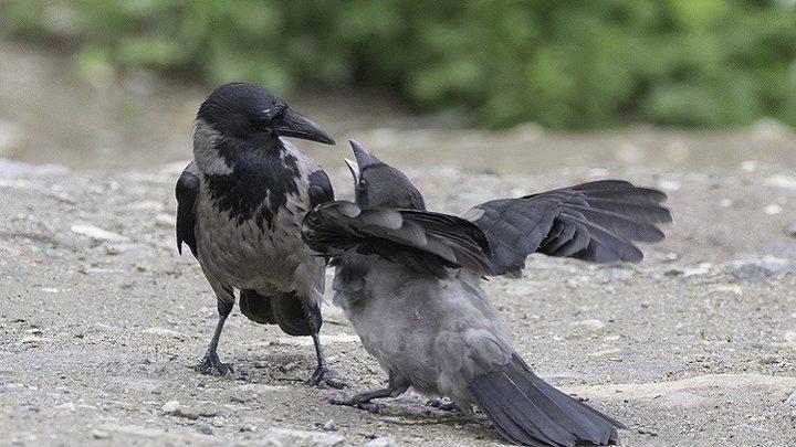 خبراء يحددون أسباب نعيق الغربان!