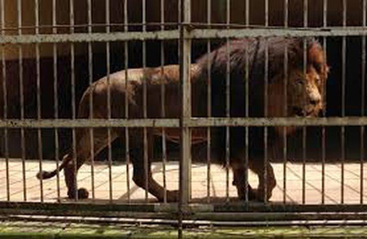 أسد يقتل عاملا في حديقة حيوان!