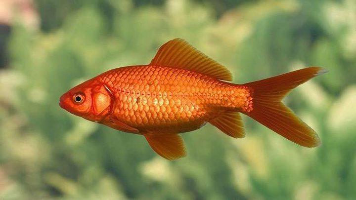 فائدة علاجية غير مسبوقة لحراشف الأسماك!