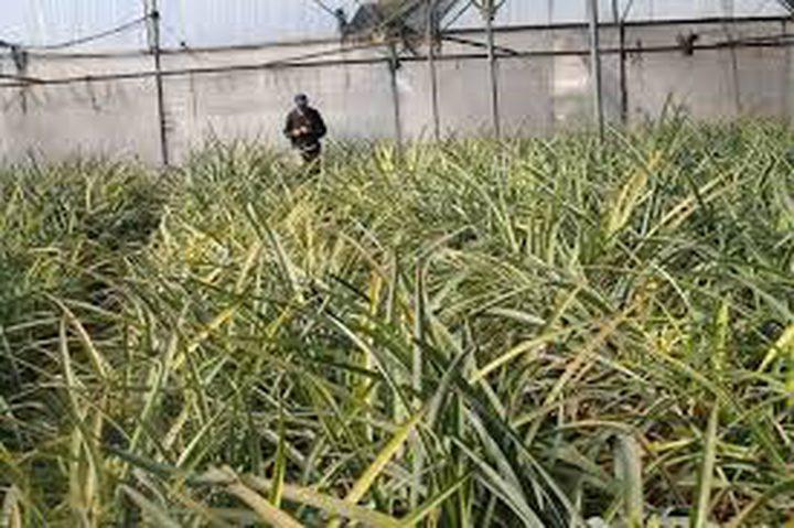 عرفات..صاحب أوّل مزرعة للأناناس في فلسطين