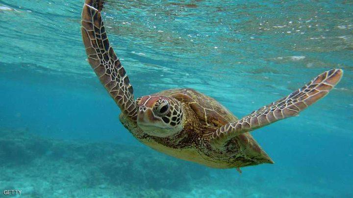"""""""حقائق مذهلة"""" عن السلاحف البحرية"""