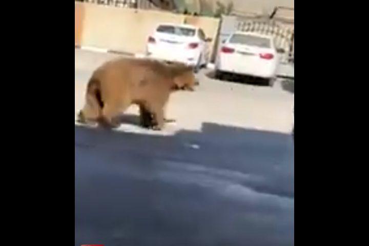 نوع نادر من الدببة يقتحم الشوارع في العراق
