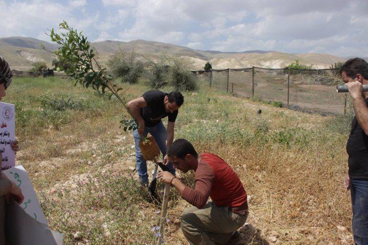 زراعة أشتال زيتون في عانين غرب جنين