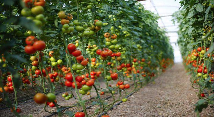 روسيا ترفع الحظر عن الطماطم التركية