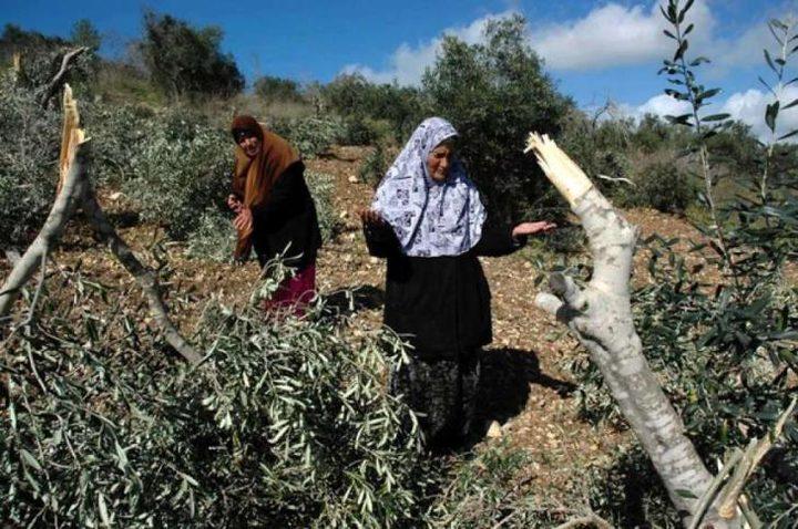 مستوطنون يقطعون أشجار زيتون شمال نابلس