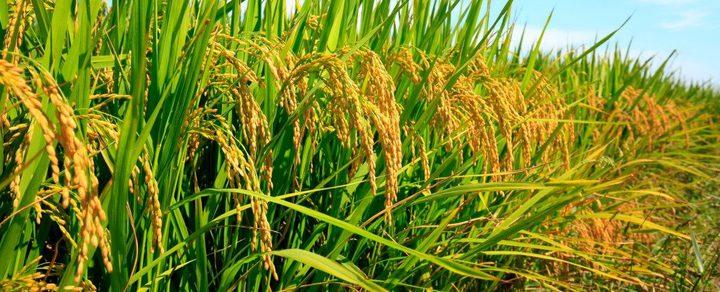 ثاني أكسيد الكربون هل سيقضي على فوائد نبتة الأرز؟