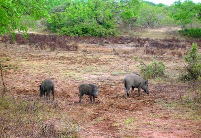 الخنازير البرية آفة تبدد سكون قرية فرعتا .. المواطنون: أوجدوا لنا حلاً