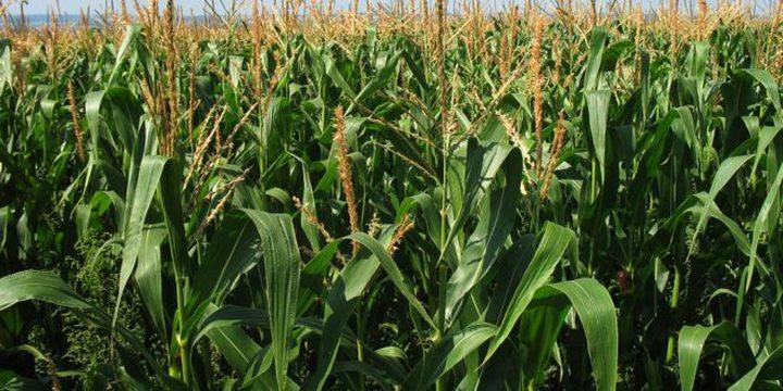 العراق يحظّر زراعة الأرز والذرة الصفراء بسبب شح المياه