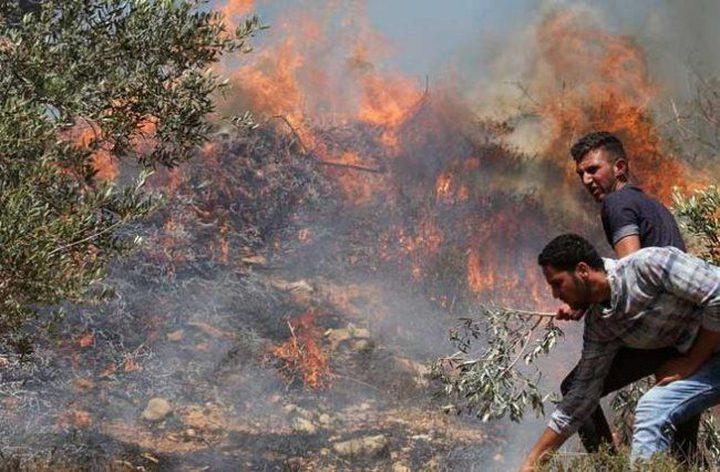 مستوطنون يحرقون عشرات الدونمات المزروعة بالزيتون في بورين