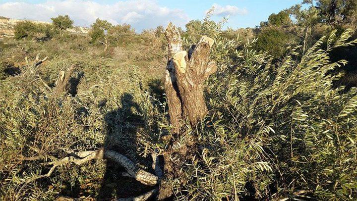 مستوطنون يقتلعون أشجارا في بلدة الخضر جنوب بيت لحم