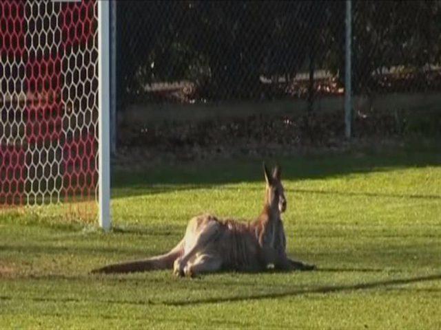 كنغر يقتحم ملعب ويتسبب في توقف مباراة(فيديو)