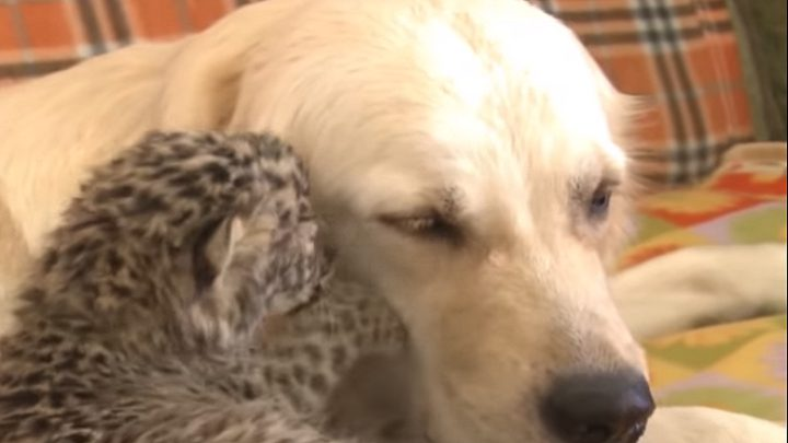 كلبة تتبنى فهدا من حديقة حيوان روسية! (فيديو)