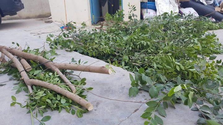 """ضبط 5 أشجار من """"القات المخدر"""" برام الله"""