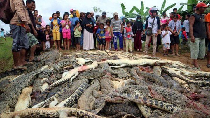 قتل نحو (300) تمساح في هجوم انتقامي في إندونيسيا