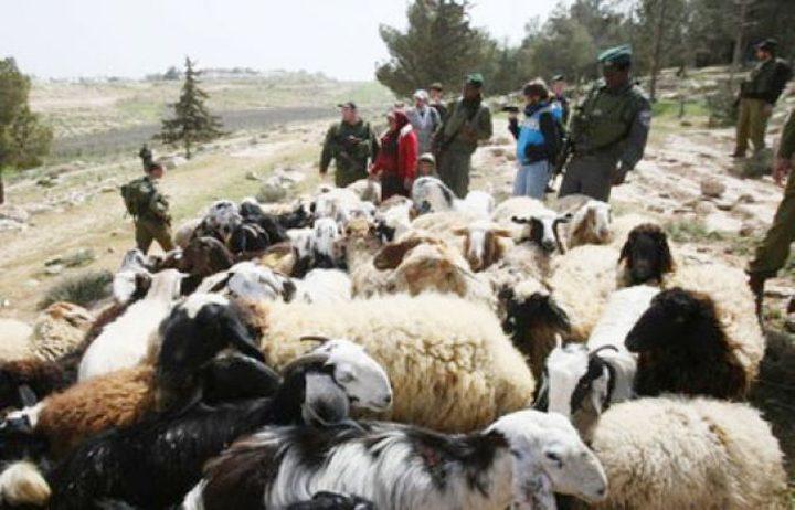 الاحتلال يطارد رعاة الأغنام في يطا