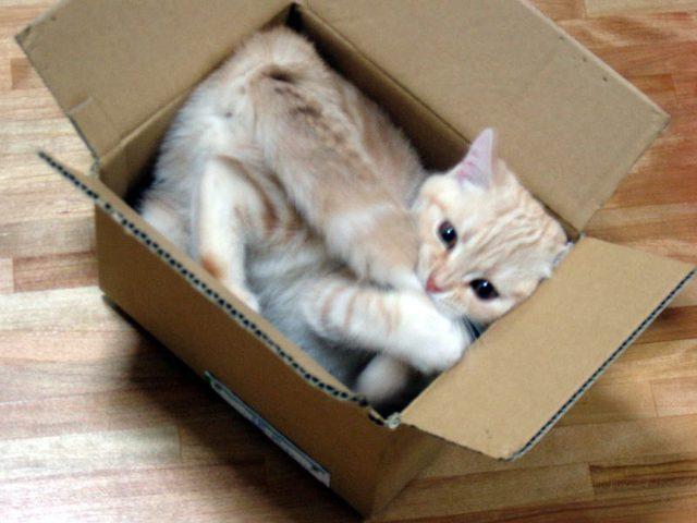 لماذا تعشق القطط الصناديق الفارغة؟