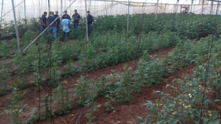 ضبط مشتل ميرغوانا في دير أبو ضعيف شرق جنين