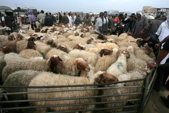 الأضاحي في غزة.. أسعار مرتفعة وإقبال ضعيف