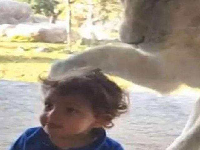 أسد يحاول التخلص من طفل لم يكترث له!