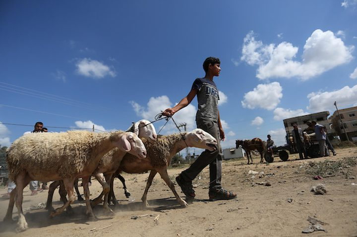 كارثة تهدد الأطفال عند ملامسة خروف العيد
