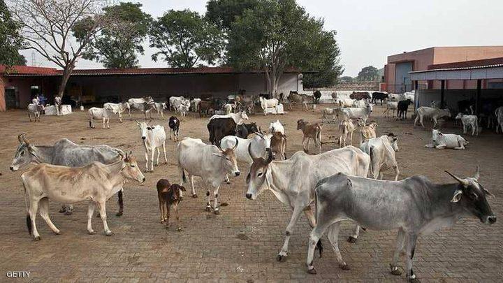 """الهند.. """"الحيوان المقدس"""" يثير غضب المزارعين"""