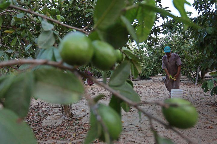 موسم حصاد الجوافة بخانيونس جنوب قطاع غزة.