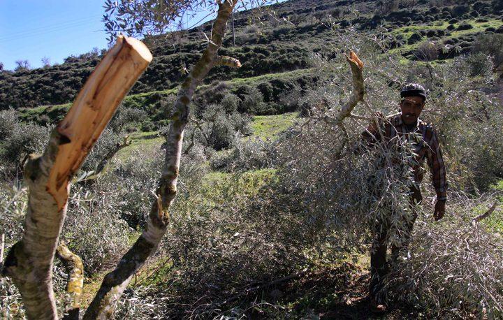 مستوطنون يقطعون 20 شجرة زيتون في بورين