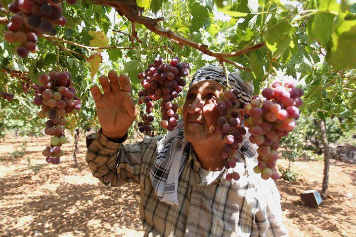 مزارع فلسطيني يجمع العنب خلال موسم الحصاد في كرم في مدينة الخليل بالضفة الغربية