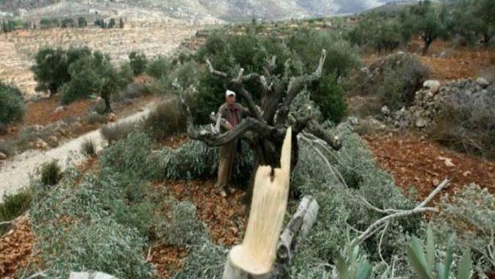 إخطارات باقتلاع 70 شجرة زيتون في الأغوار