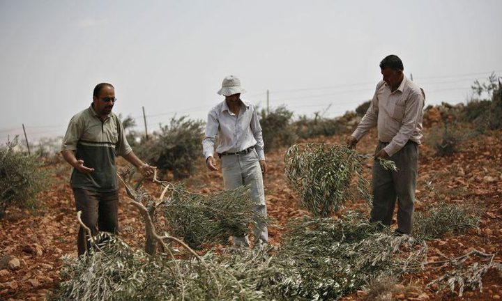 106 اعتداءات لقطعان المستوطنين منذ بداية العام