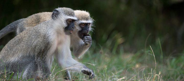 دراسة: إناث القردة لا يثقن في الذكور!