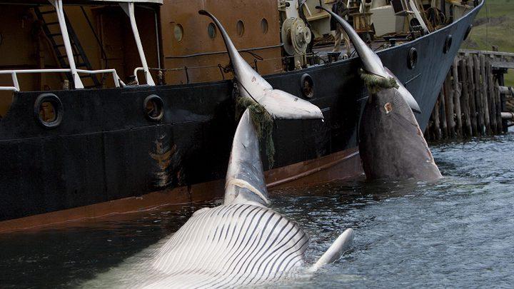 اليابان تدفع باتجاه تشريع دولي يجيز صيد الحيتان