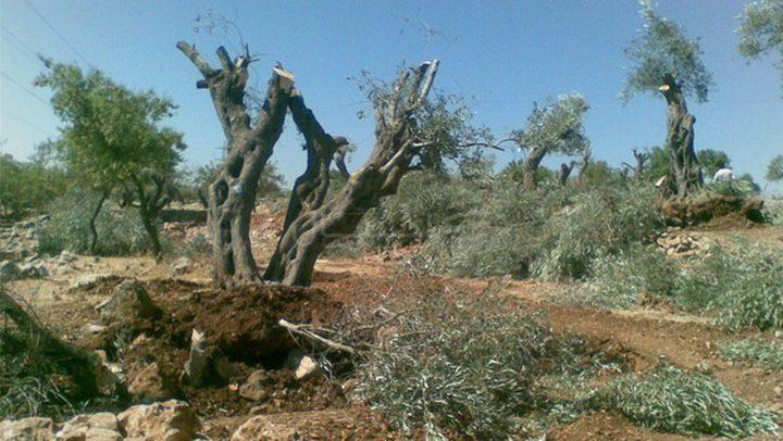 مستوطنون يقتلعون أشجار زيتون في منطقة الحمرا