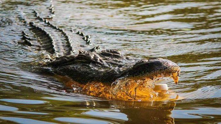 """مشاهد نادرة لـ""""ثعالب"""" تطرد تمساحا من المياه!"""