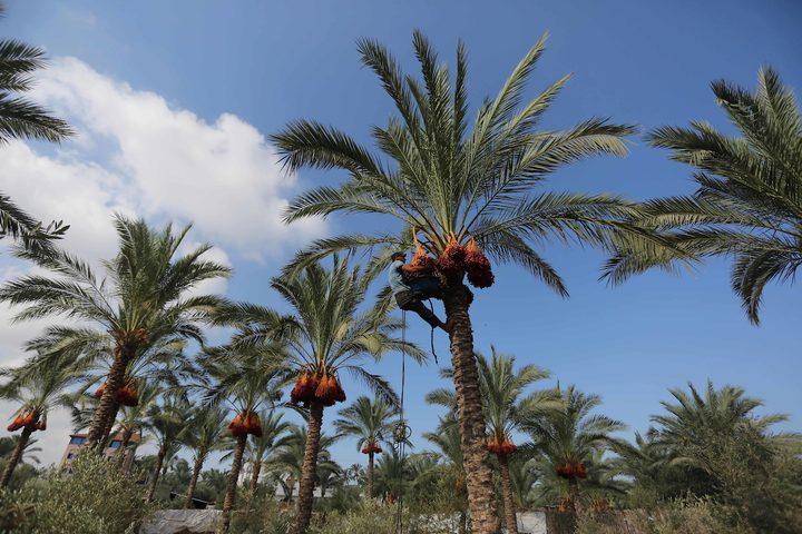 موسم حصاد التمر في دير البلح وسط غزة