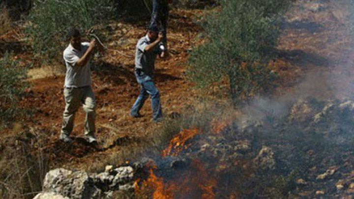 مستوطن يحرق حقول زيتون جنوب نابلس