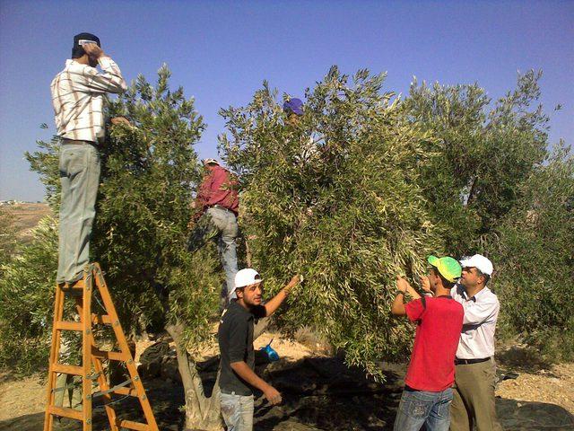 تسليم أدوات قطف الزيتون للمزارعين في طولكرم