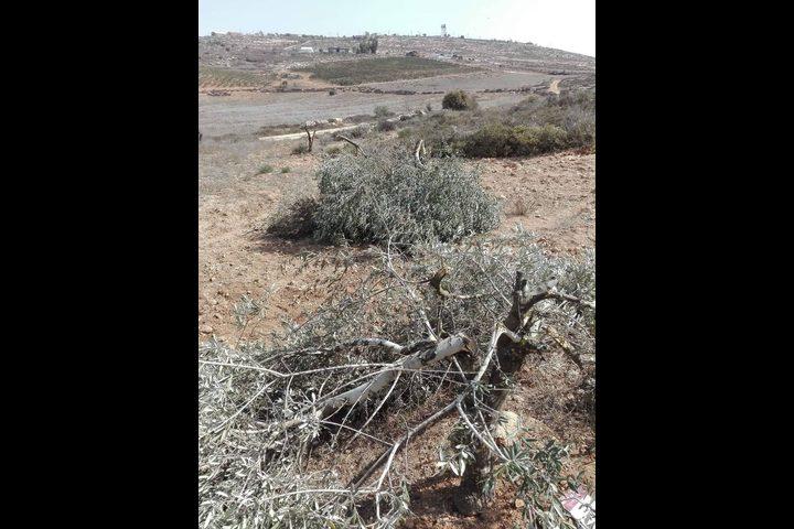 مستوطنون يقتلعون أشجار زيتون في قرية ترمسعيا