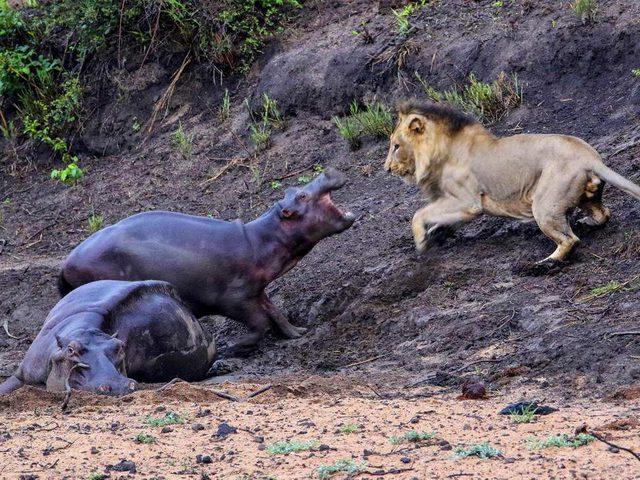 صغير فرس النهر يهاجم أسدا جائعا لإنقاذ أمه!