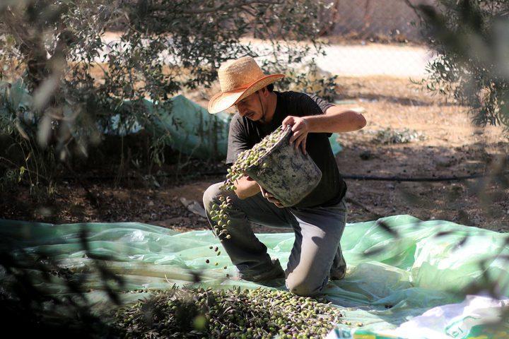رجل فلسطيني يلتقط الزيتون خلال موسم الحصاد في مزرعة في دير البلح بوسط قطاع غزة.