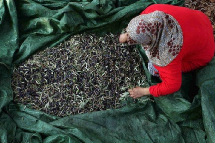 مزارعون فلسطينيون يلتقطون الزيتون في مزارع خلال موسم حصاد بالقرب من مستوطنة أرييل الإسرائيلية في مدينة سلفيت بالضفة الغربية المحتلة، بعد أن سمحت لهم السلطات الإسرائيلية بجمع الزيتون لعدة أيام محدودة.