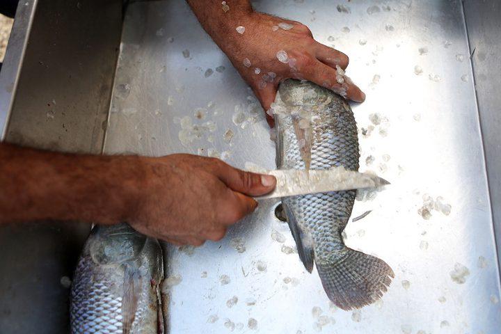 رجل فلسطيني يمسك بالأسماك في مزرعة أسماك في مدينة نابلس بالضفة الغربية