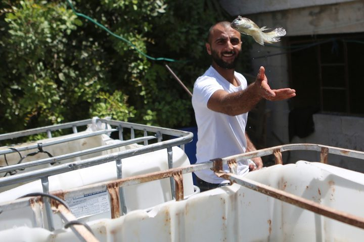 رجل فلسطيني يمسك بالأسماك في مزرعة أسماك في مدينة نابلس بالضفة الغربية.